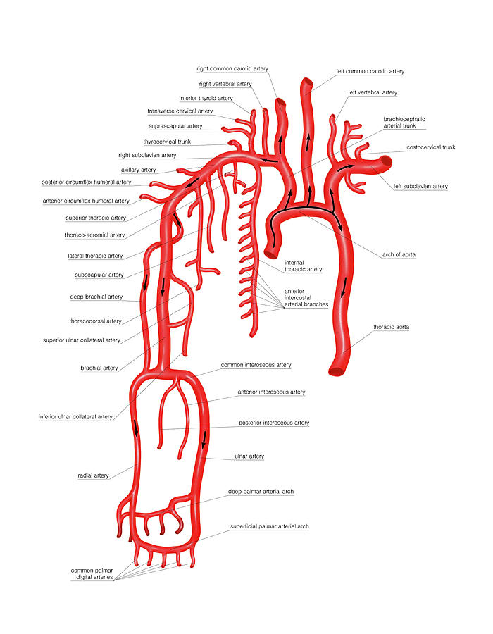 Arterial System Of The Upper Body Photograph by Asklepios Medical Atlas