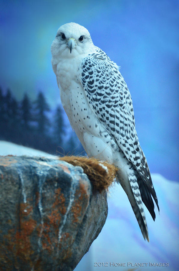 Bird Photograph - Artic Falcon by Janis Knight
