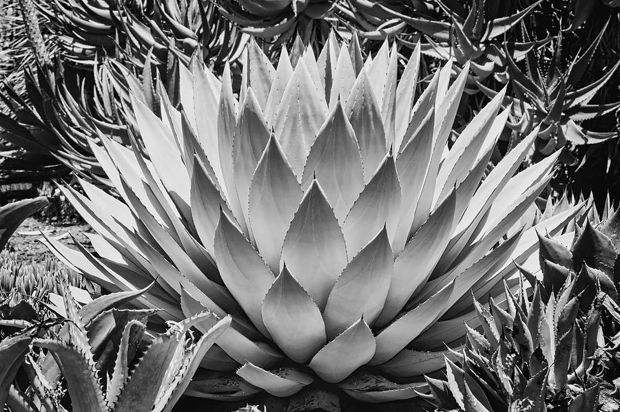 Black And White Photograph - Artichoke Agave B W by Kelley King