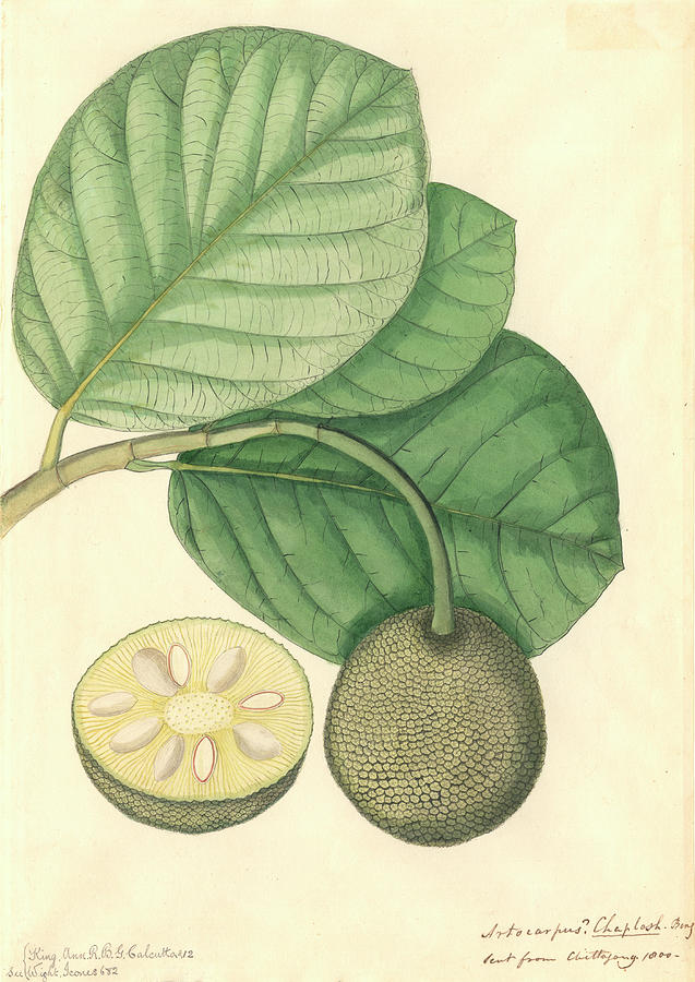 1800s Photograph - Artocarpus Chaplasha by Natural History Museum, London