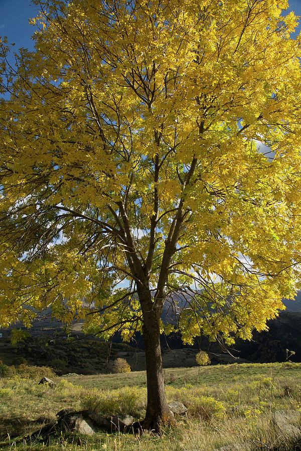 Nobody Photograph - Ash (fraxinus Excelsior) Tree In Autumn by Bob Gibbons