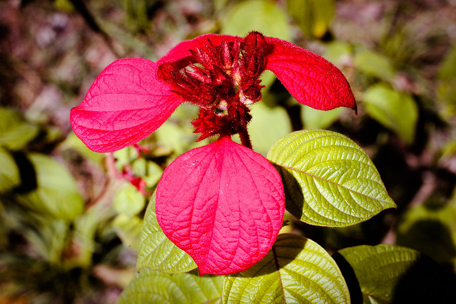 Mussaenda Erythrophylla Photograph - Ashanti Blood Singapore Flower by Donald Chen