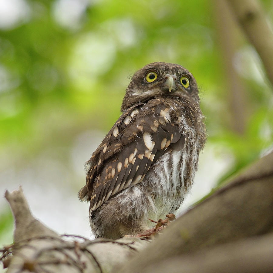 Asian Barred Owlet Photograph by Boti