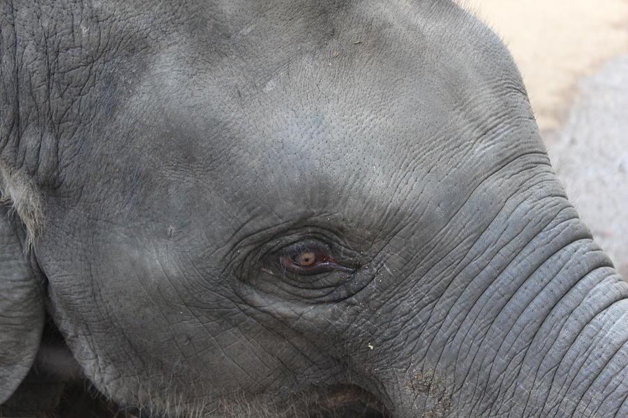 Asian Elephants Photograph - Asian Elephant Face by Colin Smeaton