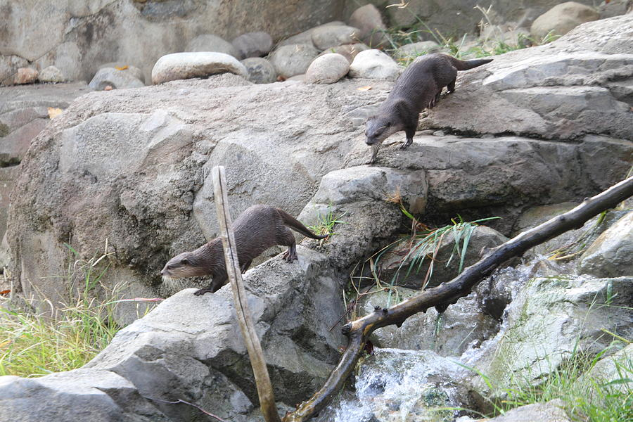 National Photograph - Asian Small Clawed Otter - National Zoo - 01133 by DC Photographer