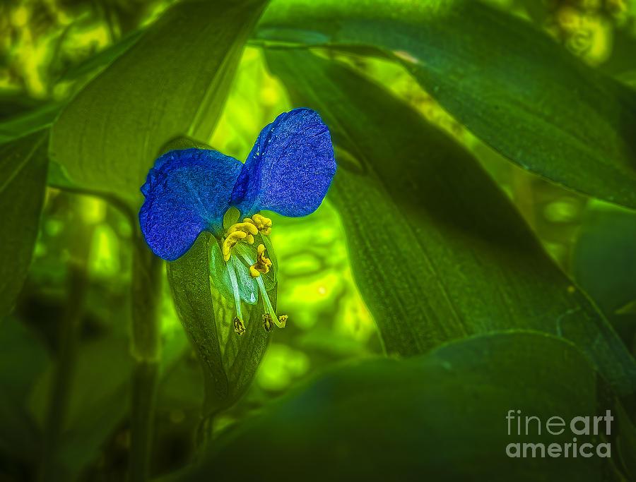 Asia Photograph - Asiatic Dayflower by Jon Munson II