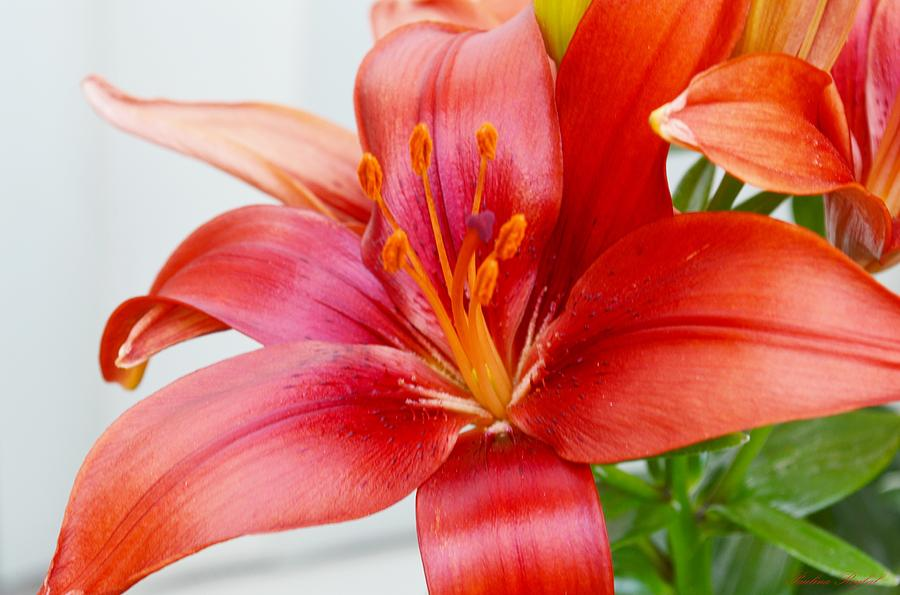 Asiatic Lilies Photograph - Asiatic Lilies by Paulina Roybal