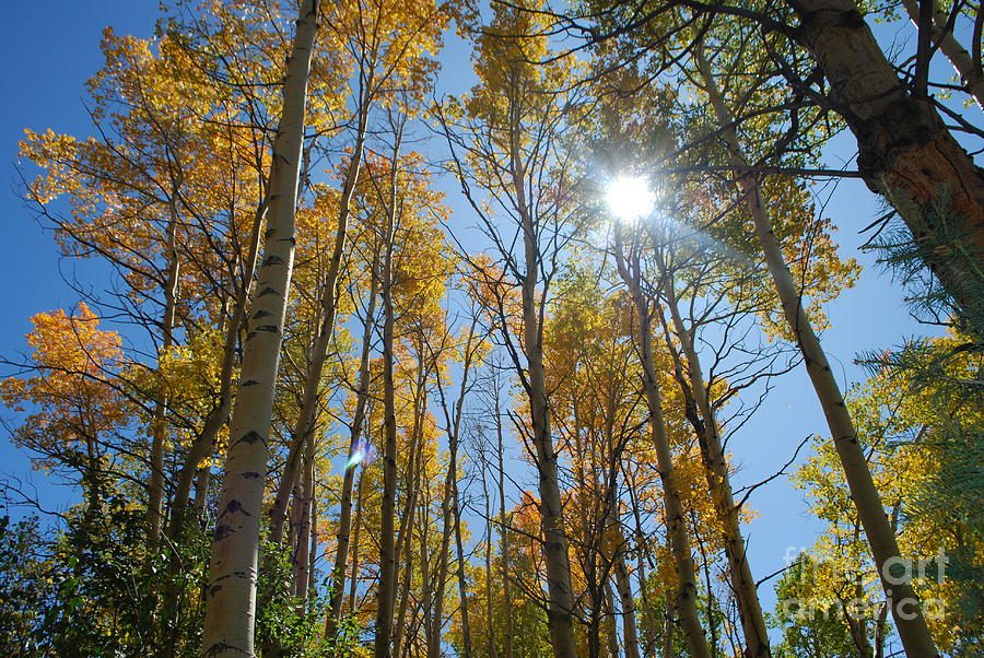 Fall Photograph - Aspen Afternoon by William Wyckoff