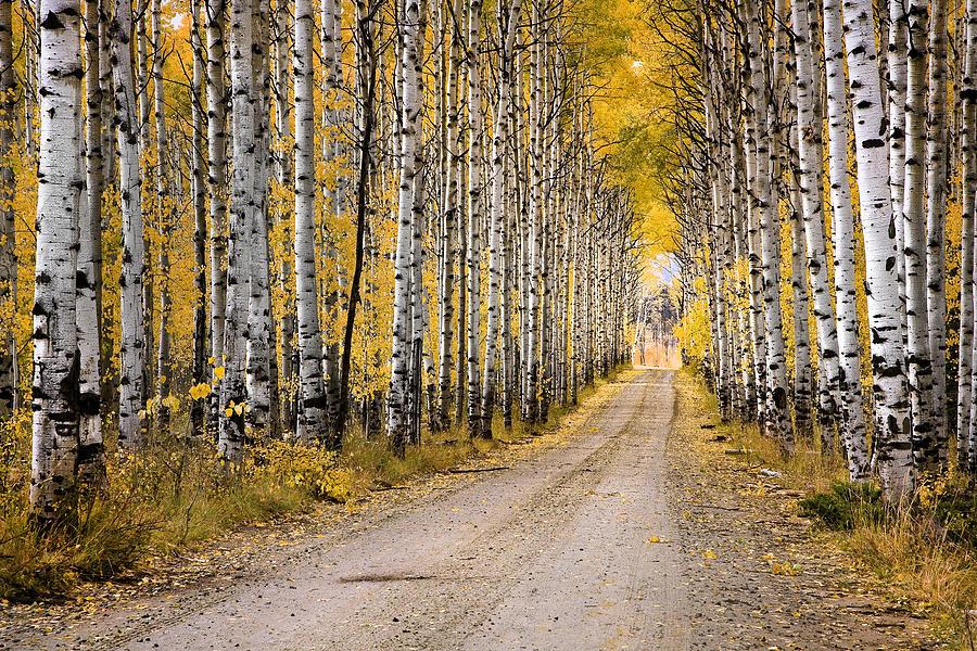 Landscape Photograph - Aspen Alley by David Halter