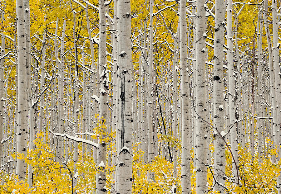 Aspen Forest Photograph - Aspen Forest In Autumn by Leland D Howard
