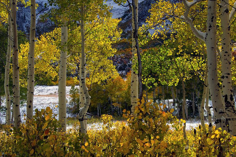 Aspen Forest Photograph - Aspen Glow by Leland D Howard