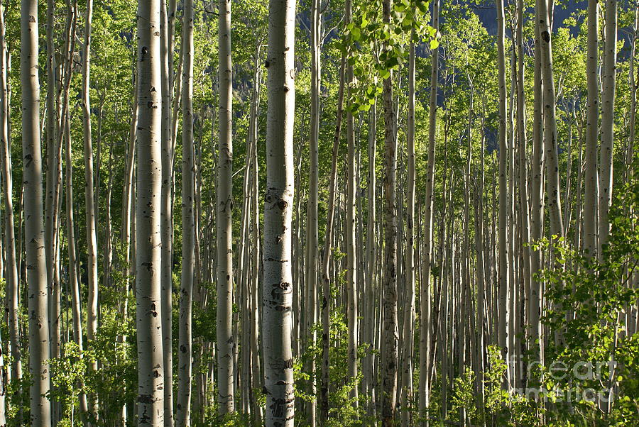 Trees Photograph - Aspen Grove Along Independence Pass II 2009 by Jacqueline Russell