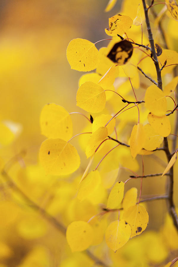 Aspen Leafs Photograph by Nickie Altamirano