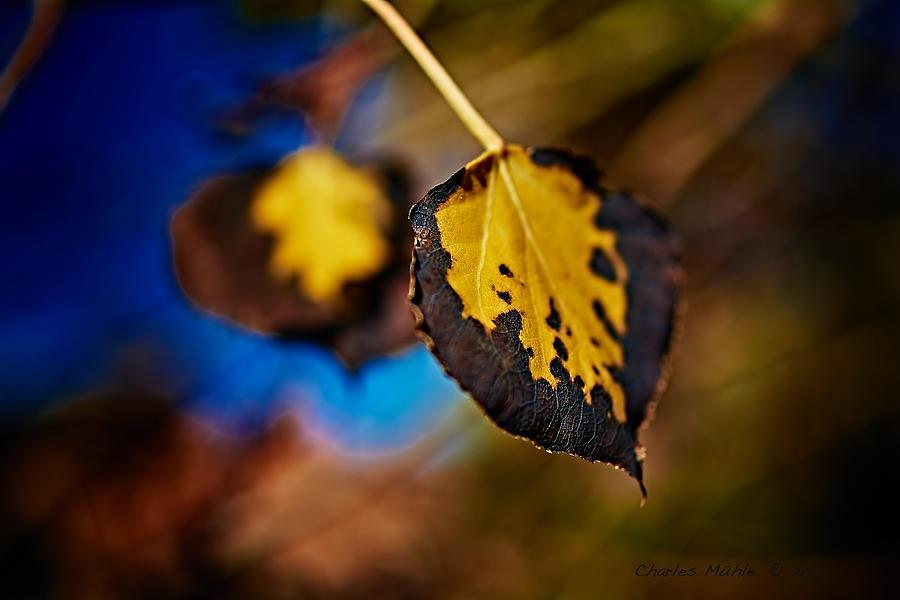 Aspen Leaves V Photograph