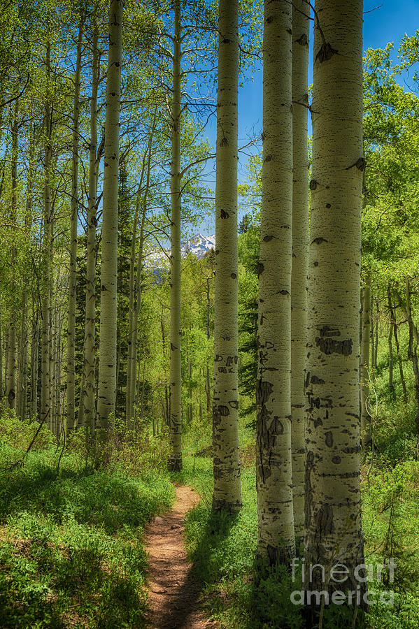 Usa Photograph - Aspen Lined Hiking Trail Hdr by Mitch Johanson