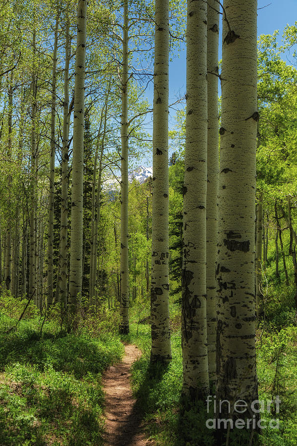 Usa Photograph - Aspen Lined Hiking Trail by Mitch Johanson