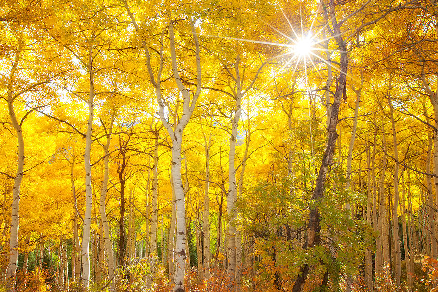 Aspens Photograph - Aspen Morning by Darren  White