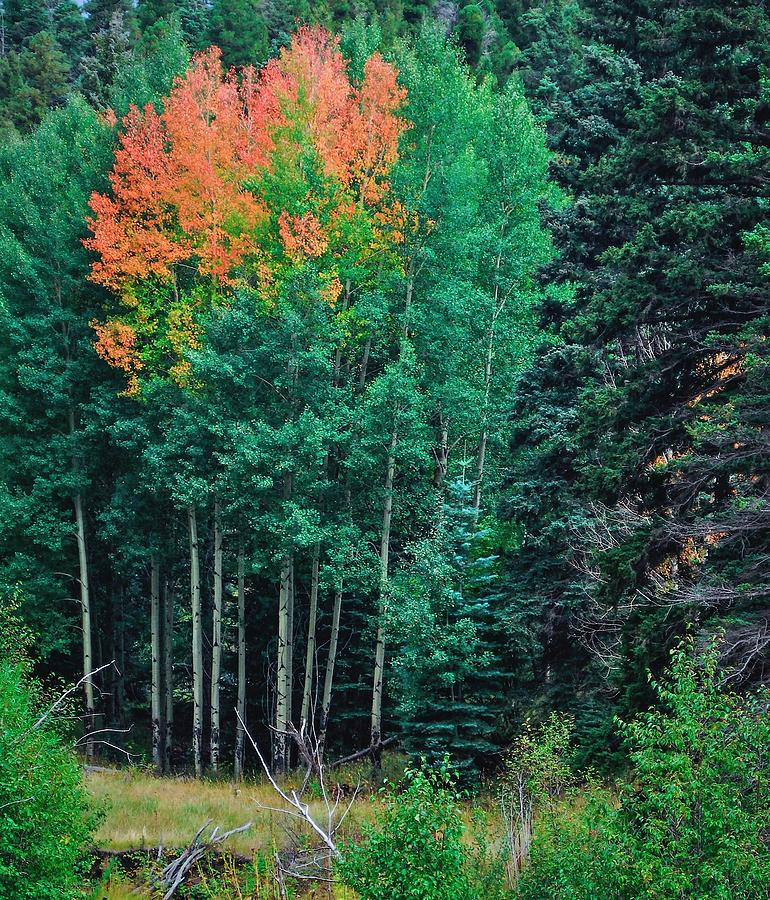 Aspen Photograph - Aspen-orange Before Yellow by Larry Bodinson
