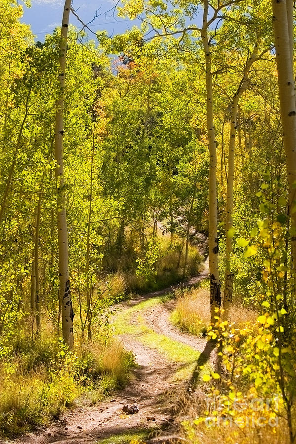 Aspen Trail Photograph