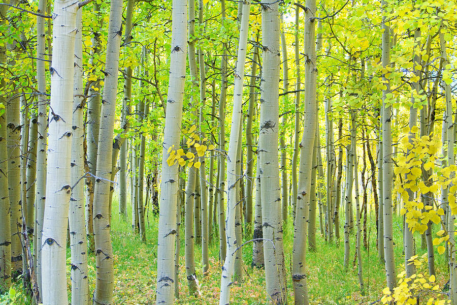 Aspens Photograph - Aspen Tree Forest Autumn Time  by James BO Insogna
