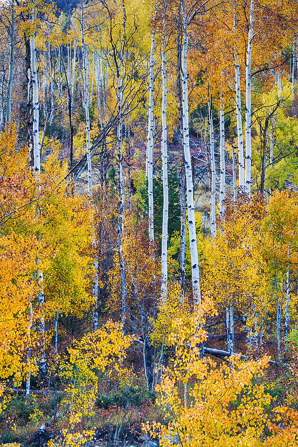 Autumn Photograph - Aspen Tree Magic Cottonwood Pass by James BO  Insogna
