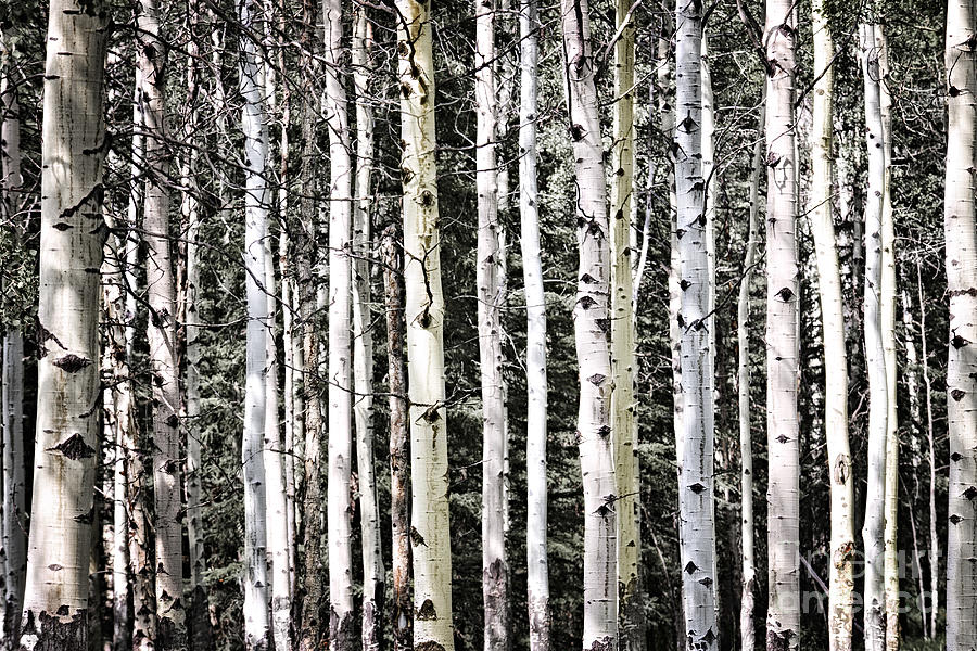 Trees Photograph - Aspen Tree Trunks by Elena Elisseeva