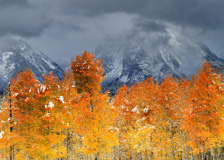 Aspen Trees at the Oxbow Grand Teton National Park by Ed  Riche