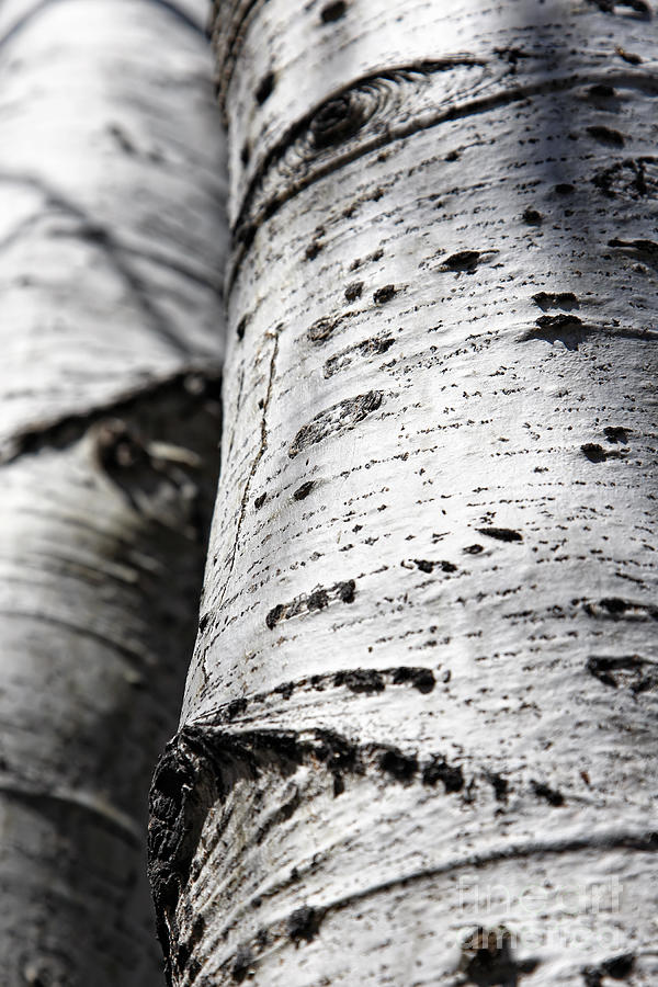 Aspen Photograph - Aspen Trunks In Light And Shadow by Lincoln Rogers