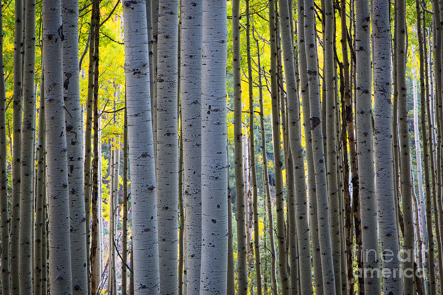 America Photograph - Aspen Trunks by Inge Johnsson