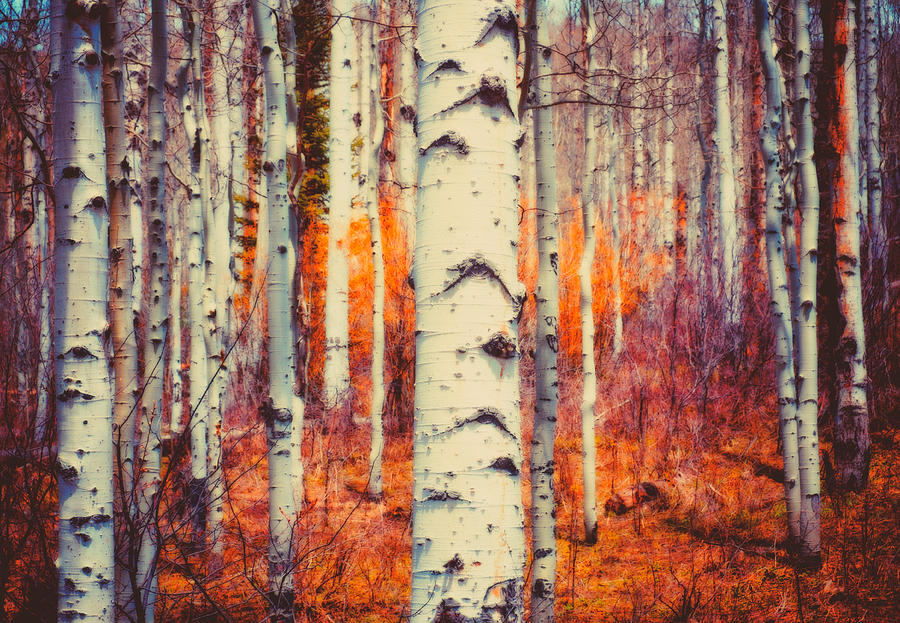 Aspen Photograph - Aspenglow by Roger Chenery