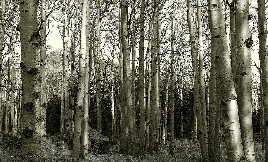 Aspens Black and White by Stephen Andersen