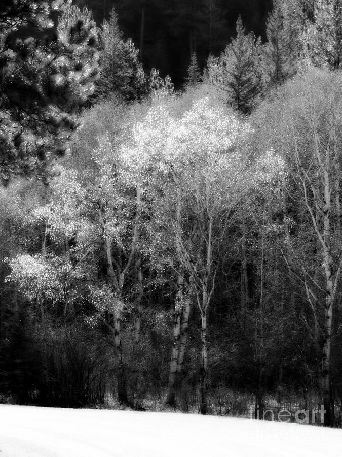 Aspens In Morning Light Bw Photograph