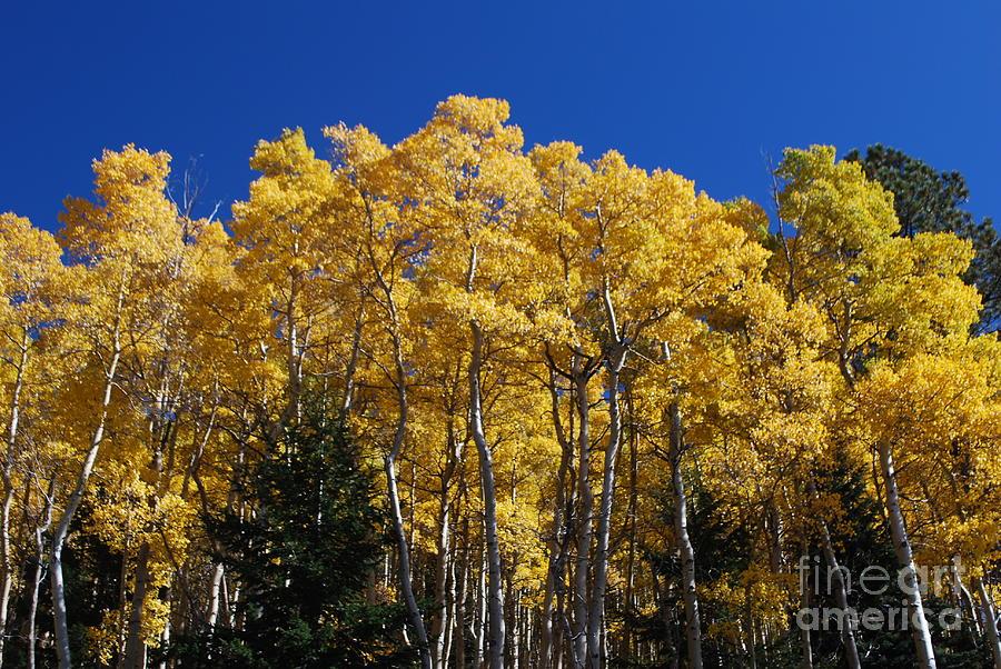Fall Photograph - Aspens In Santa Fe by William Wyckoff