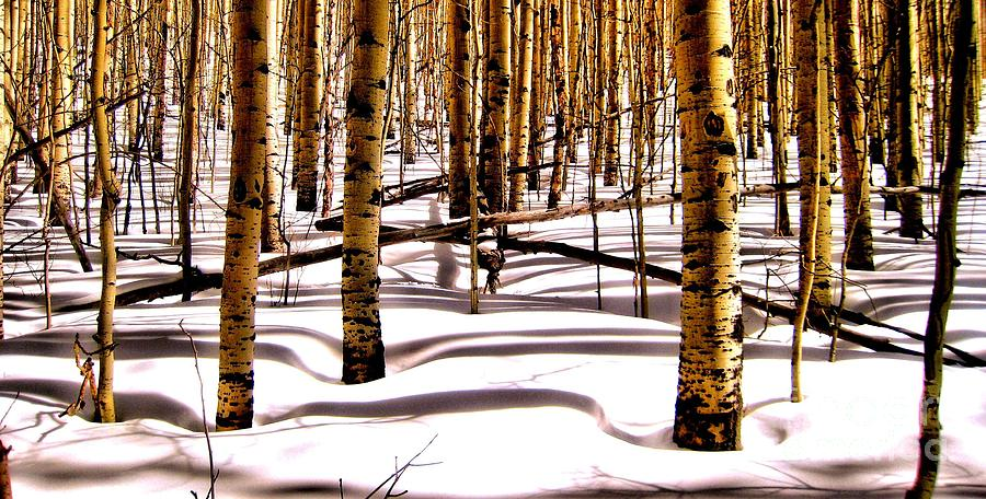 Nature Photograph - Aspens In Winter by Claudette Bujold-Poirier
