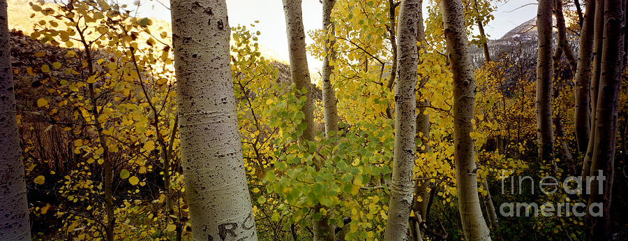 Aspens Photograph by Ron Smith