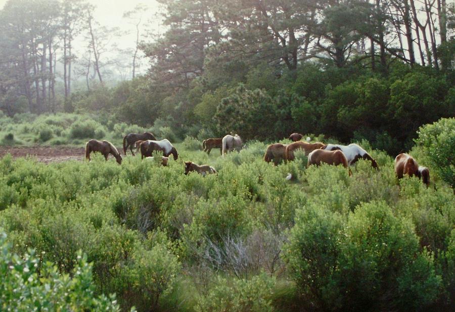 Assateague Photograph - Assateague Herd by Joann Renner