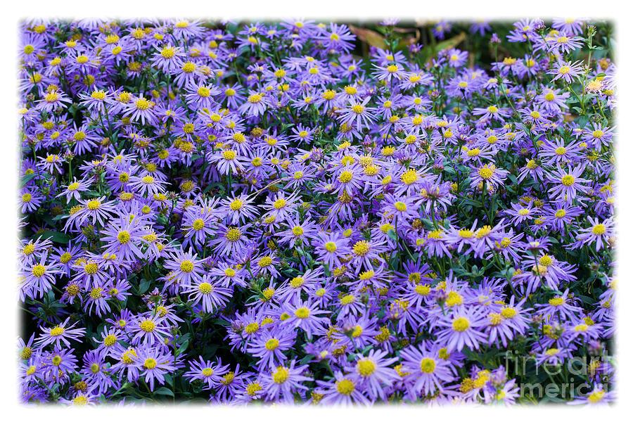 Flowers Photograph - Asters by Liz  Alderdice