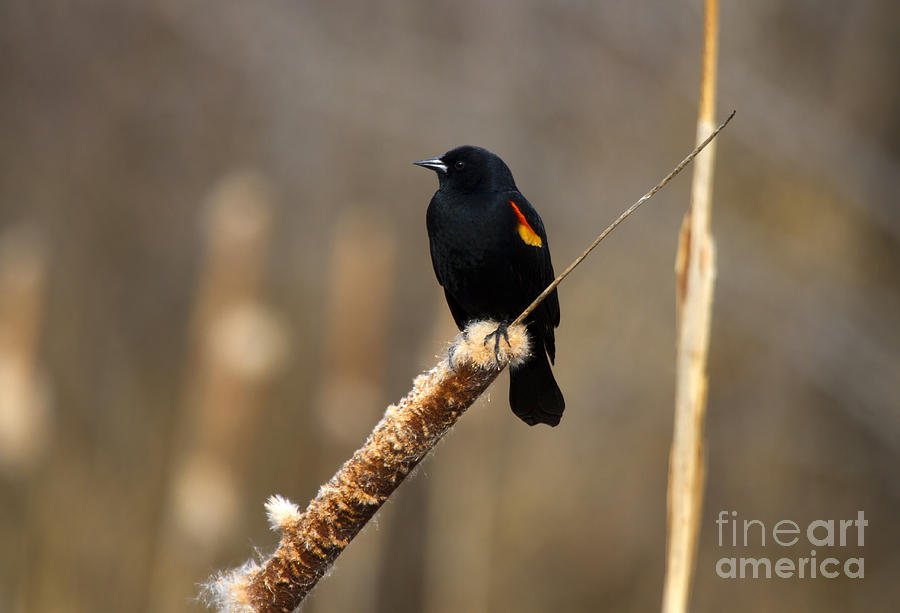 Blackbird Photograph - At Rest by Mike  Dawson