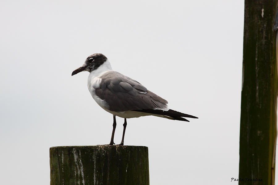 Gull Photograph - At Rest by Paula Rountree Bischoff
