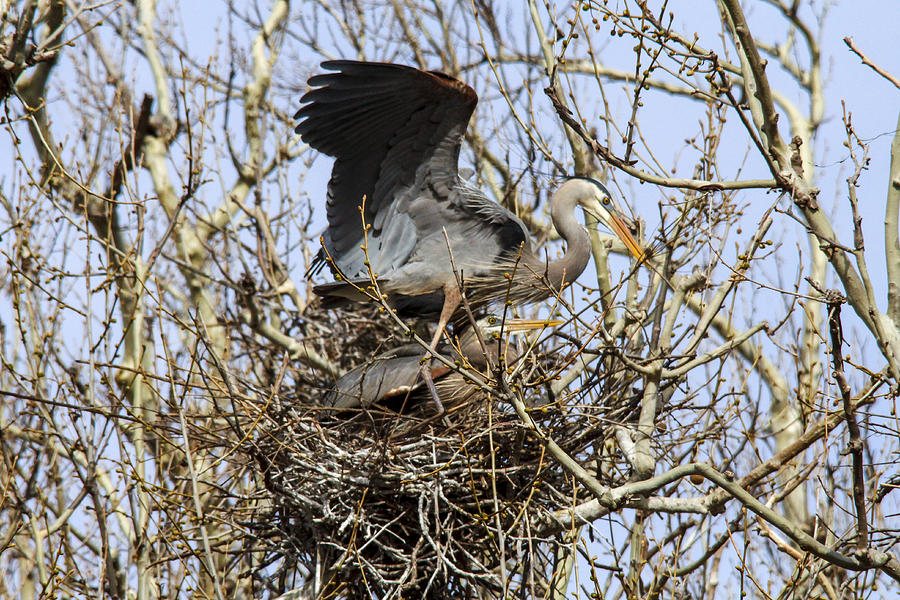 Great Blue Heron Photograph - At the Heronry by Jill Bell