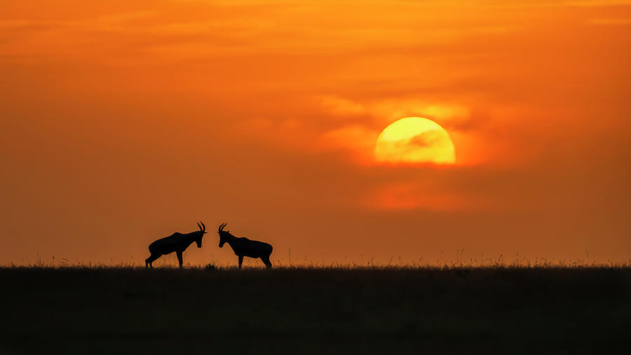 Ibex Photograph - At The Sunset by Jun Zuo