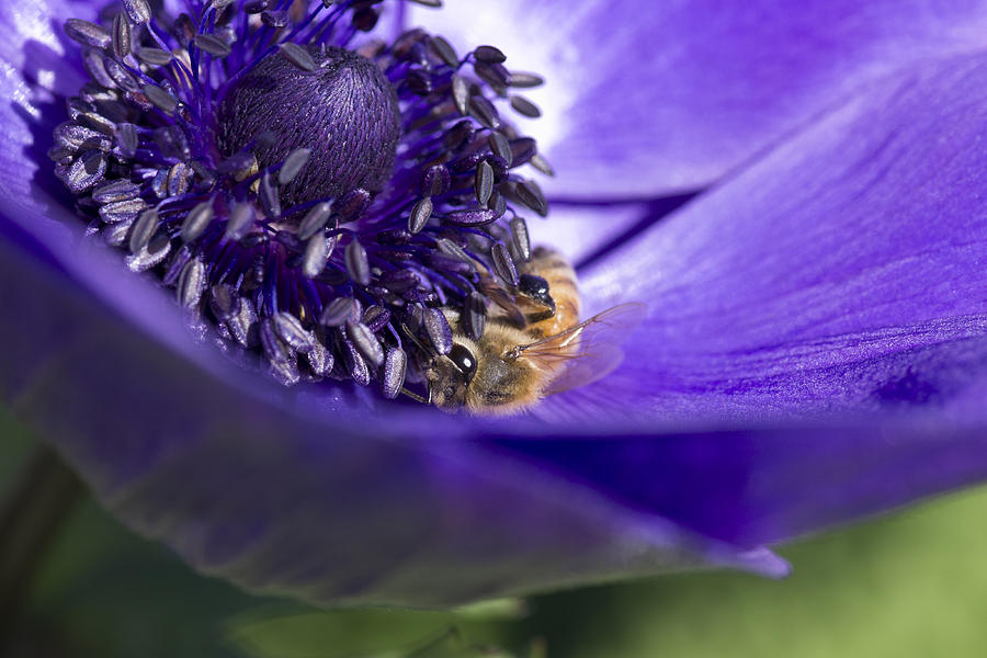 Anemone Photograph - At Work by Priya Ghose