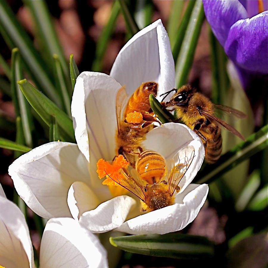 Bee Photograph - At Work by Rona Black