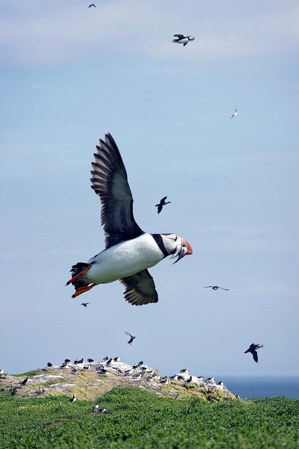 Fratercula Arctica Photograph - Atlantic Puffin In Flight by Steve Allen/science Photo Library