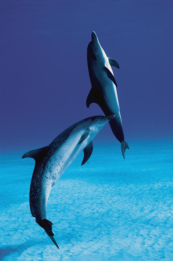 Atlantic Spotted Dolphin And Calf Photograph by Hiroya Minakuchi