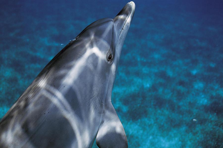 Atlantic Spotted Dolphin Bahamas Photograph by Hiroya Minakuchi