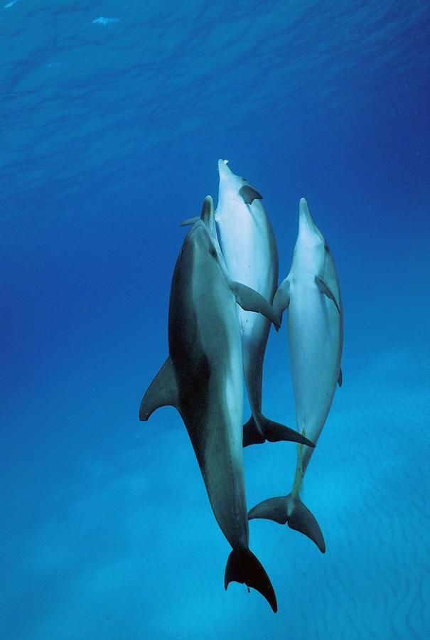 Atlantic Spotted Dolphin Juveniles Photograph by Hiroya Minakuchi