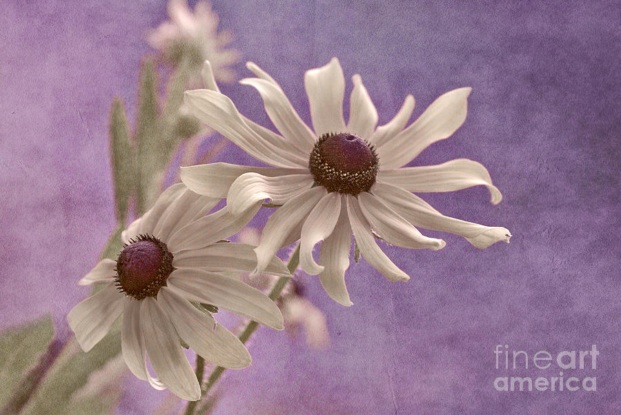 Black Eye Susan Photograph - Attachement - S09at01b2 by Variance Collections