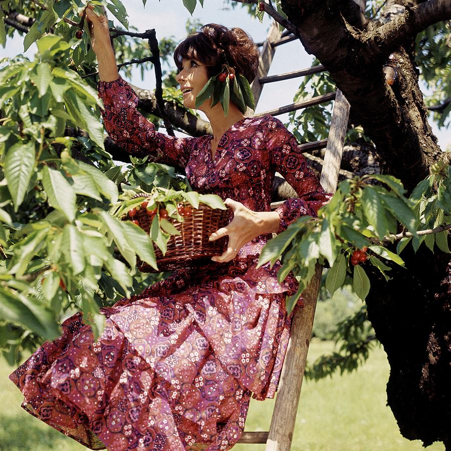 Audrey Hepburn Picking Cherries In Her Orchard Photograph by Henry Clarke