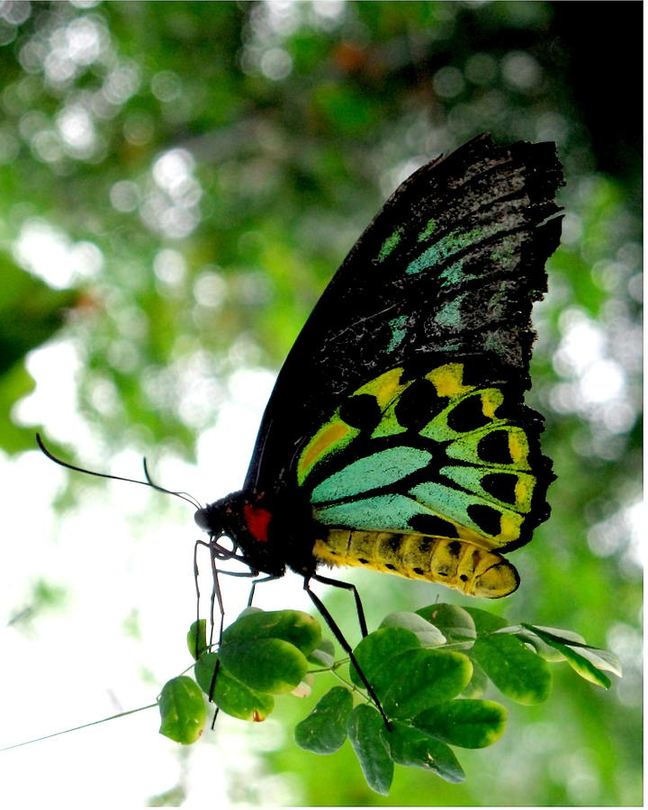 Butterfly Photograph - Australian Butterfly Cairns Birdwing Ornithoptera Priamus by  Andrea Lazar